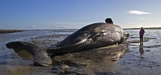 DOCUMENTAR | Balenele și delfinii eșuează din cauza undelor sonarelor militare – VIDEO
