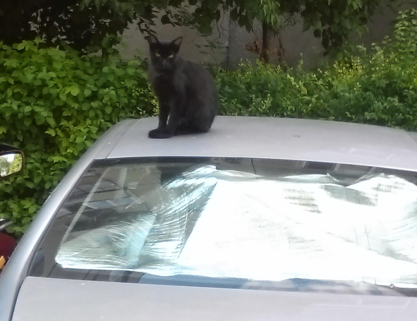 pisica capota masina