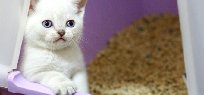 Cum poți elimina eficient din apartament, mirosul din litiera pisicii