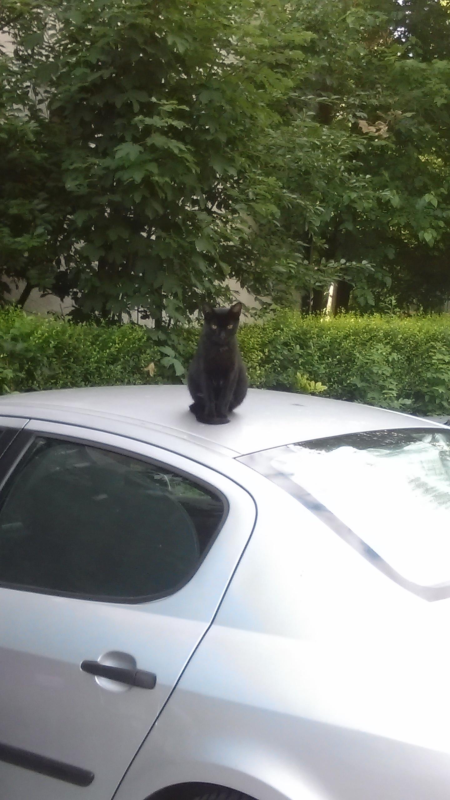 pisica masina