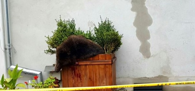 Scandal național, anchete și proteste după uciderea unui pui de urs la Sibiu