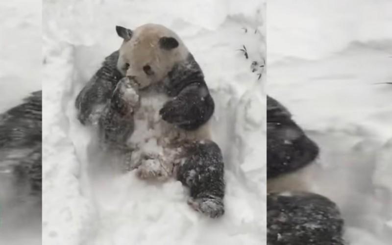 Reacția fabuloasă a unui urs panda când a văzut prima dată zăpadă – VIDEO