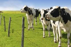Turcia expulzează 40 de vaci olandeze din cauza conflictului diplomatic