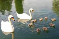 Opt pui de lebădă au fost furați din Parcul IOR din București