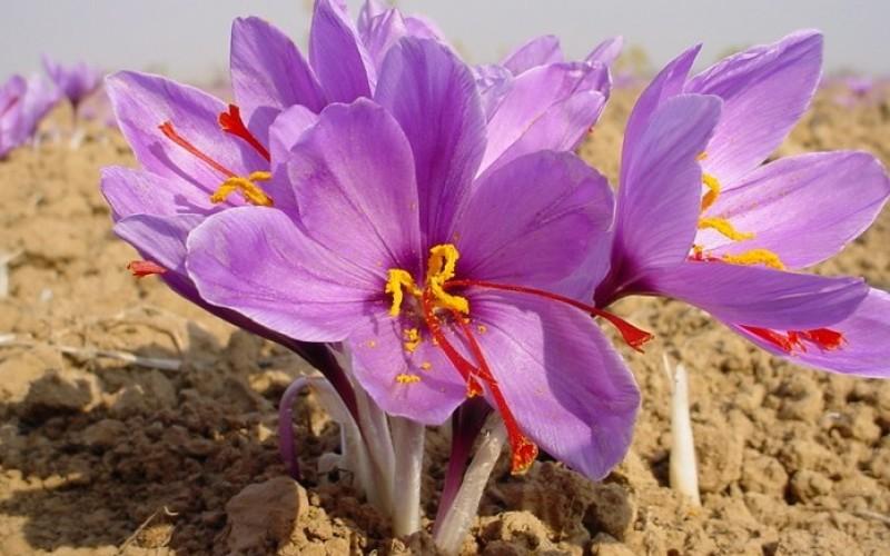 O plantă miraculoasă care e mai valoroasă decât aurul, a ajuns să se cultive şi în România