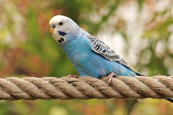 Cum alegi o pasăre de colivie?