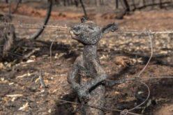 Peste un miliard de animale au ars de vii în incendiile devastatoare din Australia
