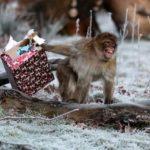 Maimuţele au atacat un asistent medical şi au furat probele de sânge recoltate de la pacienţii infectaţi cu COVID